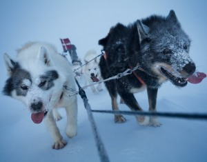 sled-dogs-615